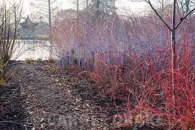 White stems of Rubus cockburnianus with ginger stems of Rubus phoenicolasius and red cornus in front near the lake in Seven Acres and RHS Wisley.