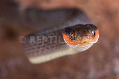 Red-lipped Snake (Crotaphopeltis hotamboeia) photos