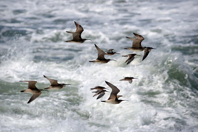 Seabirds (sp.) flying over the Pacific Ocean near Yachats, Oregon