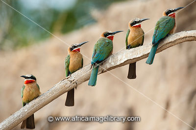 White-fronted bee-eater colony nesting in the bank of the Rufiji River, Merops bullockoides, Selous Game Reserve, Tanzania