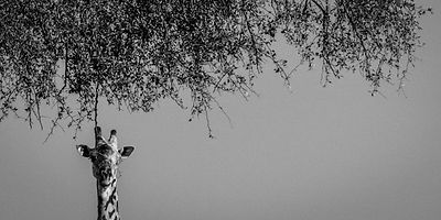 5841-Giraffe_under_an_acacia_tree_Tanzania_2002_Laurent_Baheux