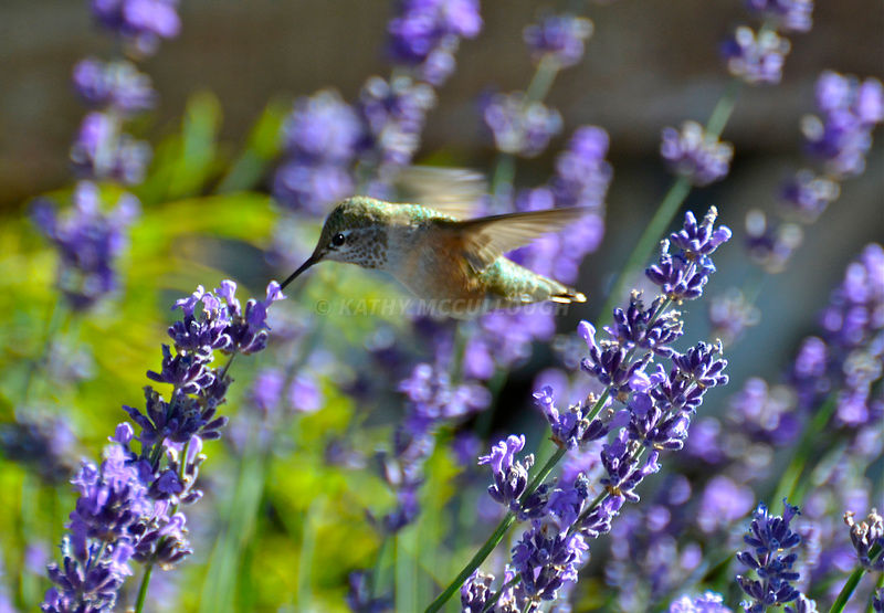 Lavender and Hummer