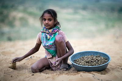 A girl collects camel dung for fuel during the Pushkar Camel Fair, Pushkar, Rajasthan, India