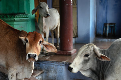 Cows on the street in Bundi, Rajasthan, India
