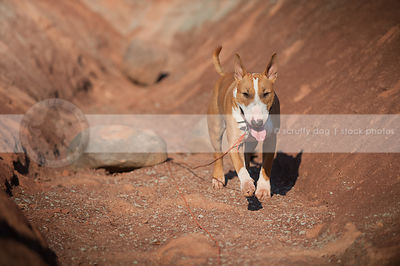 bull terrier dog coming to camera walking in red clay valley