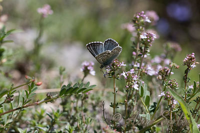 Provence Chalk-hill Blue (Polyommatus hispana) photos