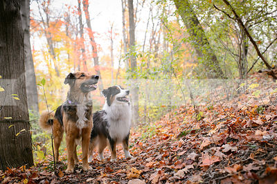two dogs standing together on slope in autumn forest
