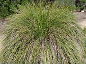 Lomandra longifolia, long-leafed variant Spiny-headed Mat Rush
