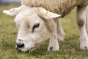 Texel ewe grazing in a pasture, North Yorkshire, UK.
