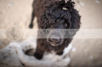 expressive curly coated black dog looking up from sandy beach