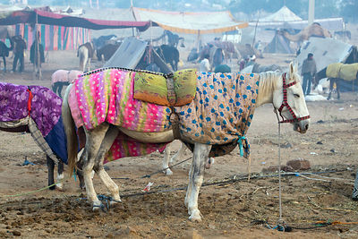 White horse with saddle blankets, Pushkar, Rajasthan, India