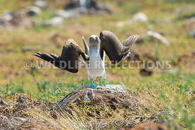 blue_footed_booby_north_seymour-69