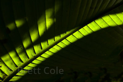 Large backlit rainforest leaf, Las Nubes, Costa Rica