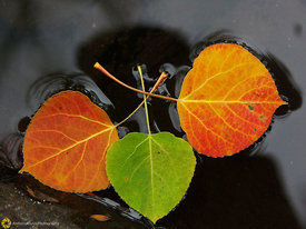 Floating Aspen Leaves