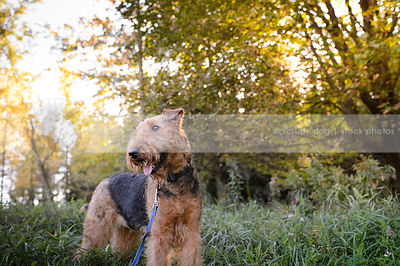 groomed black and tan dog standing in meadow with trees