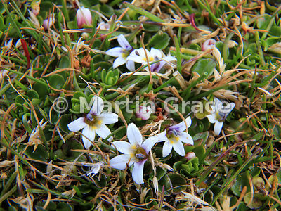 Berry-Lobelia (aka Creeping Pratia) (Lobelia pratiana, formerly Pratia repens, sometimes also called Lobelia repens), Saunders Island, Falkland Islands