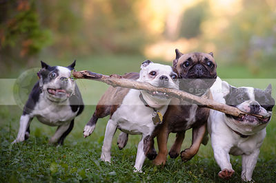 four small dogs fetching one stick together