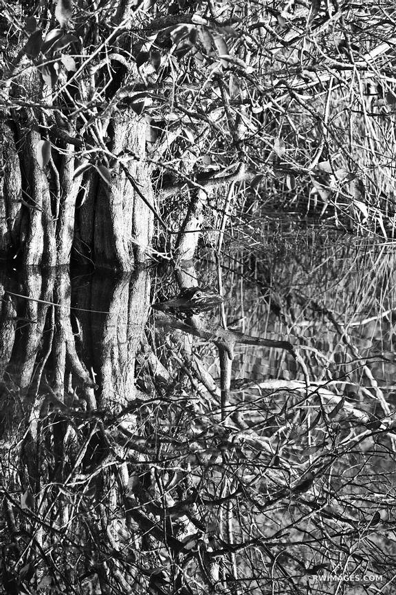 ALLIGATOR ANHINGA TRAIL EVERGLADES NATIONAL PARK FLORIDA BLACK AND WHITE