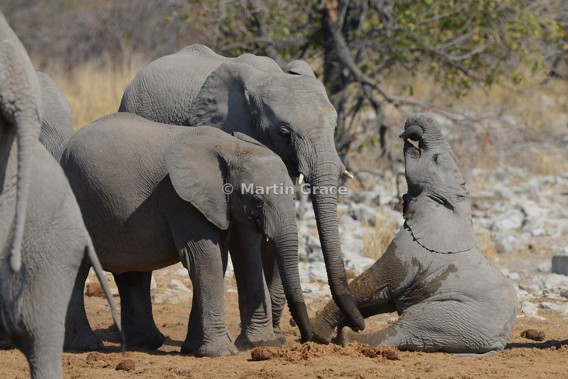 African Elephant calf (Loxodonta africana) takes a tumble and appears to have its trunk in a tangle, Etosha National Park, Namibia