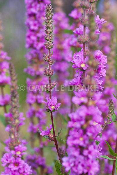 Purple loosestrife, Lythrum salicaria. The Cider House, Buckland Abbey, Yelverton, Devon, UK
