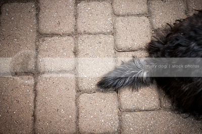 docked black and grey tail black of dog sitting on interlocking brick