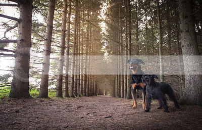 two dogs standing together in pine tree forest