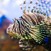 Close-up of a Lionfish, Manila Ocean Park, Luneta, Manila, Philippines