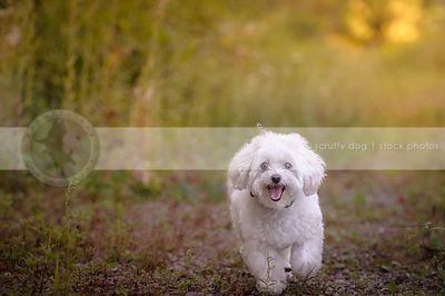 little white happy dog walking to camera on summer trail