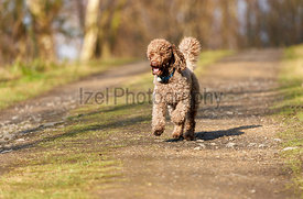 Brown Miniature Poodle sprinting along a country lane and having fun at sunset in the countryside