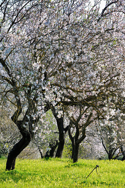 Almond trees blooming with flowers. Loulé, Algarve, Portugal