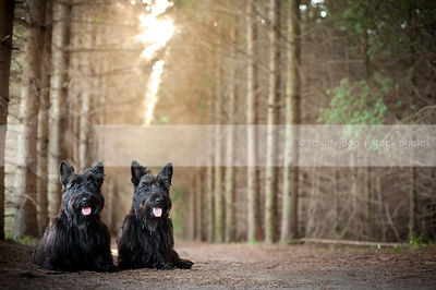 two black dogs with tongues sitting together in pine forest