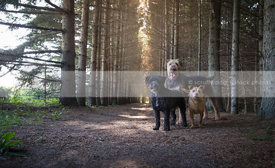 pack of three dogs standing staring at camera in forest of pine trees