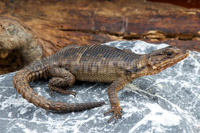 Karoo Girdled lizard (Karusasaurus polyzonus) photos