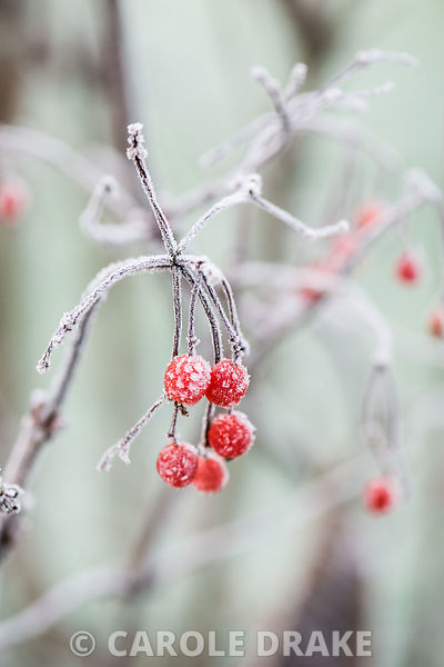 Berries of Viburnum sargentii 'Onondaga'.