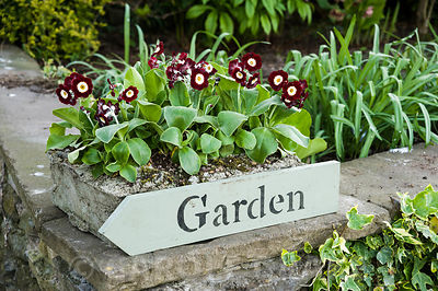 Border auriculas above 'garden' sign. Summerdale House, Lupton, Cumbria, UK