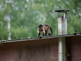 Capuchin monkey next to cleanest pipe | Kapucijnaapje naasts schoonsteenpijp