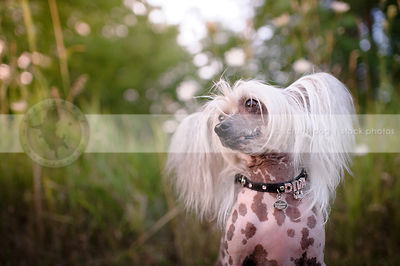 chinese crested freckled dog wearing jeweled collar sitting in grasses