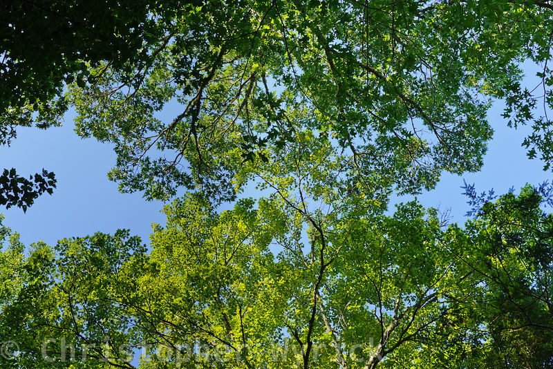 This walnut tree offers a beautiful image of the forest canopy.  Shot taken in Cades Cove near Hyatt Lane.  Image made on  August 21st - 2017, the day of the eclipse.  This was truly a magical eclipse which I will never forget.