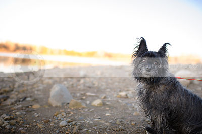 little expressive scruffy terrier dog sitting on stoney beach