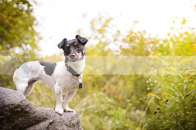 tricolored jack russell balanced on a rock