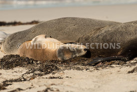 sea_lion_australian_side_nap
