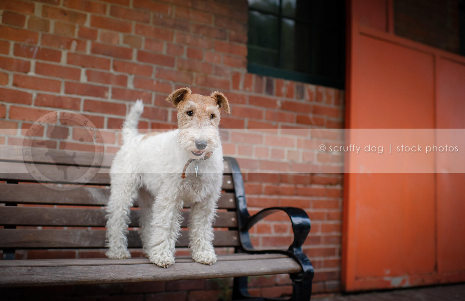 tan and white wirehaired terrier on park bench by brick wall