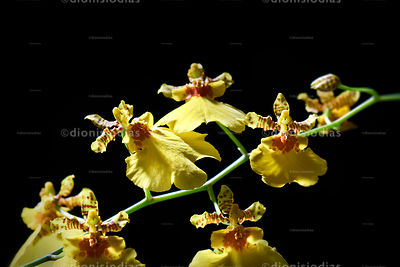 Golden Rain Orchid Bunch.
