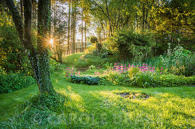 Bog garden illuminated by dawn sunlight includes Primula pulverulenta, hostas, ferns and lysichiton. Windy Hall, Windermere, Cumbria, UK