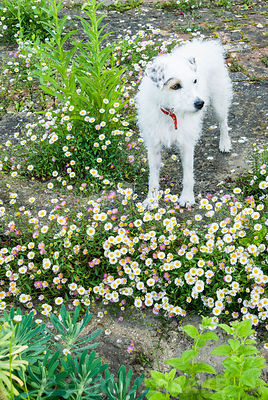 Darcy the dog amongst self seeded wall daisy, Erigeron karvinskianus. Private garden, Dorset, UK