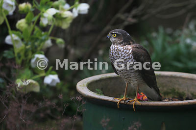 Juvenile male Eurasian Sparrowhawk (Accipiter nisus) perching on the edge of a plant pot, Lyth Valley, Cumbria, England