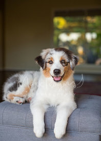 Australian Shepherd Puppy Sitting on Grey Ottoman