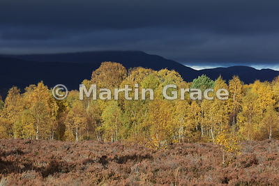 Autumnal birch trees glowing in late afternoon sunlight, Badenoch, Scottish Highlands