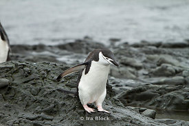 A chinstrap penguin walking around shoreline of the Antarctic Peninsula.