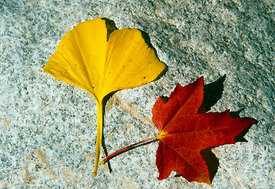 Two leaves on a stone, Franche conte, France